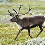20070818-0001-strolling_reindeer