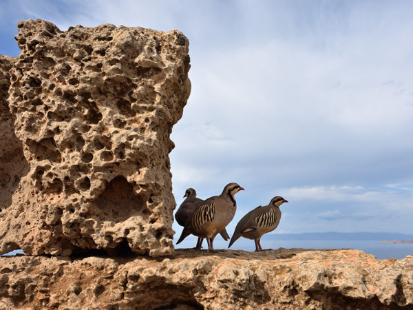 Rock-Partridge