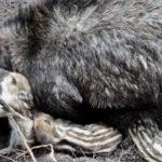 dead_wild_boar