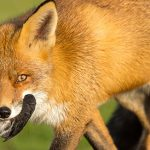 fox_predator_management