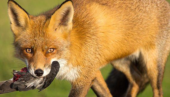fox_predator_management