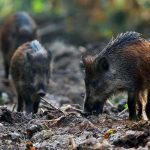 wild-boars-in-the-forest-PSTE93J