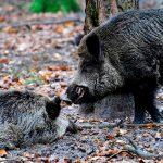 wild_boars