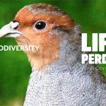 Life_Perdix