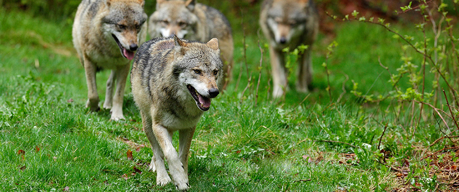 Wolf packs in forest. Gray wolf, Canis lupus, in the spring light, in the forest with green leaves. Wolf in the nature habitat. Wild animal in the orange leaves on the ground, Germany.