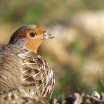 grey_partridge