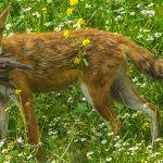 Andrew-Balcombe-Predators-Fox-30386