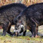 boar-3214069_1920