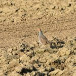 Grey_Partridge_2