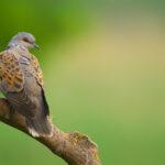 Turtle_Dove_Hunting